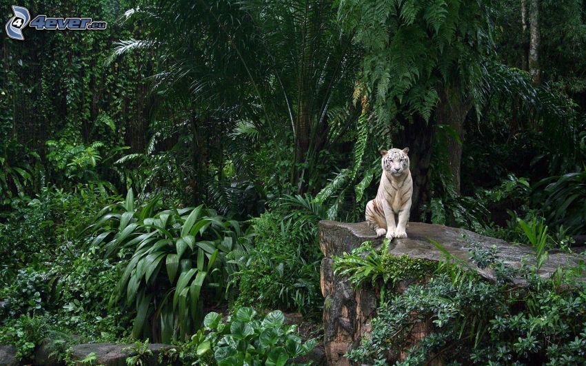 tiger, urskog, grönska