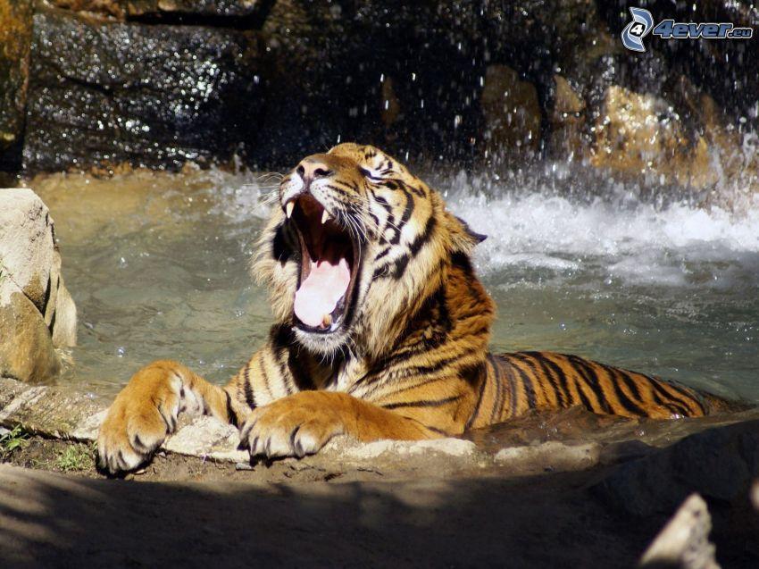 tiger, vatten, gäspning