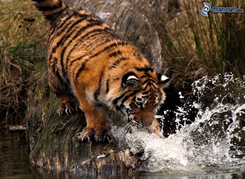 tiger, vatten, jakt