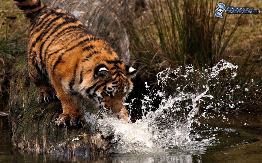 tiger, vatten, plask, stam