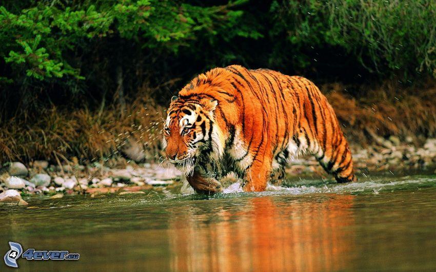 tiger, vatten
