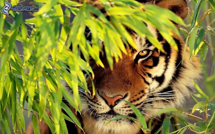 tiger, växt