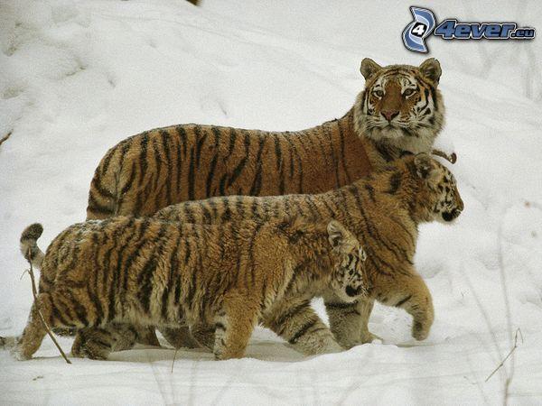 tiger, vinter, snö