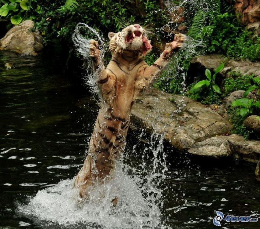 tiger i vatten, tiger, vatten, bäck