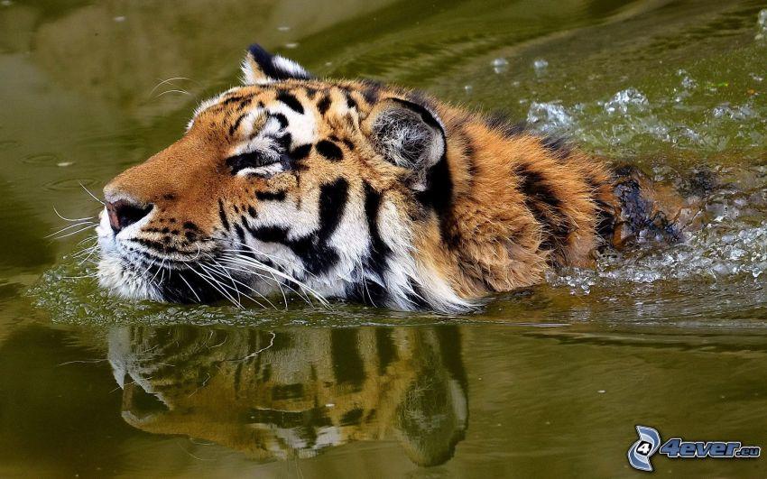 tiger i vatten