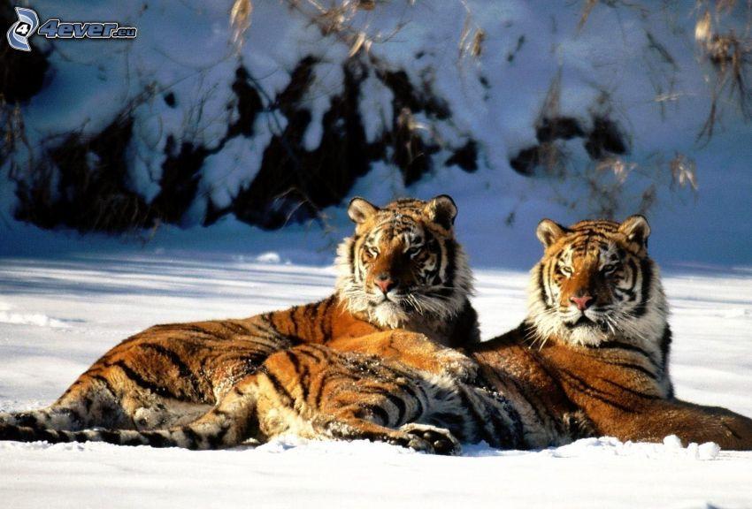 tigrar, snö