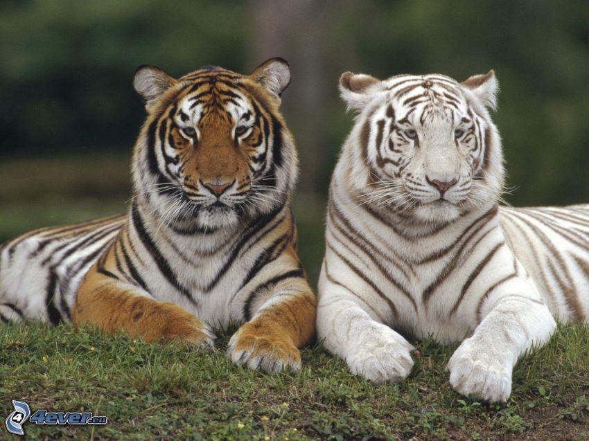 tigrar, tiger, vit tiger