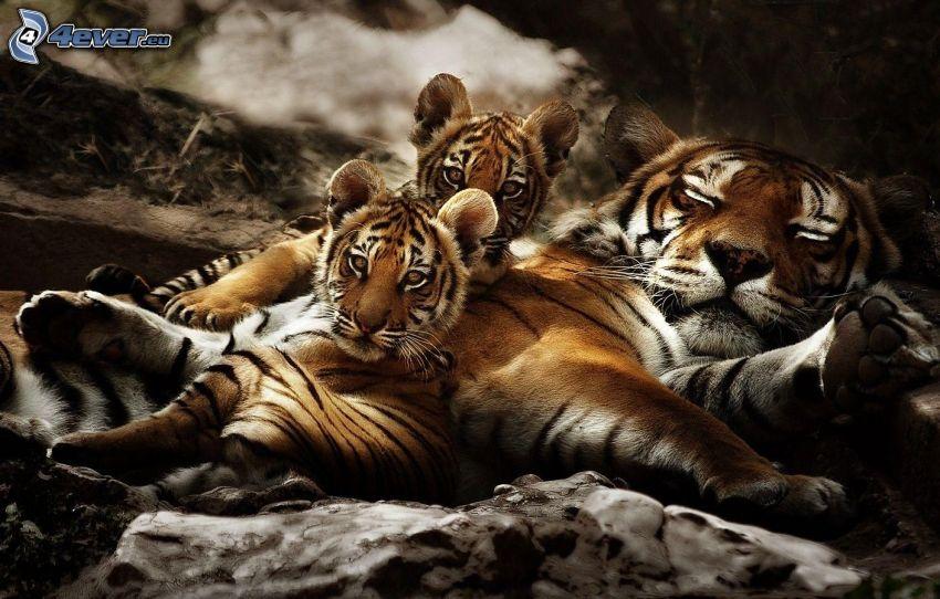 tigrar, ungar, sömn