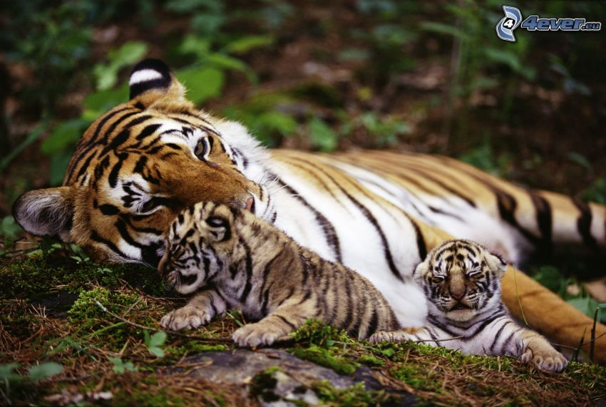 tigrar, ungar