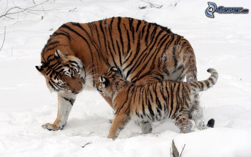 tigrar, unge, snö