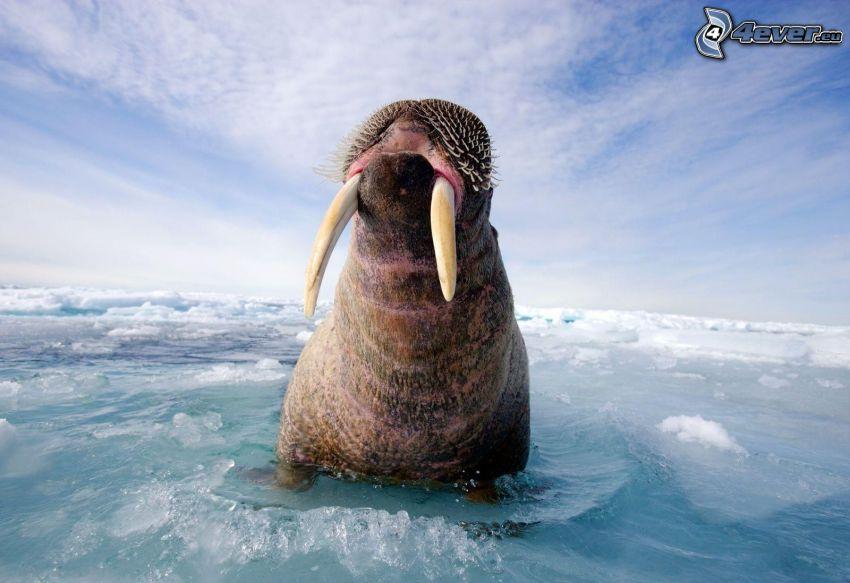 valross, vatten, isflak