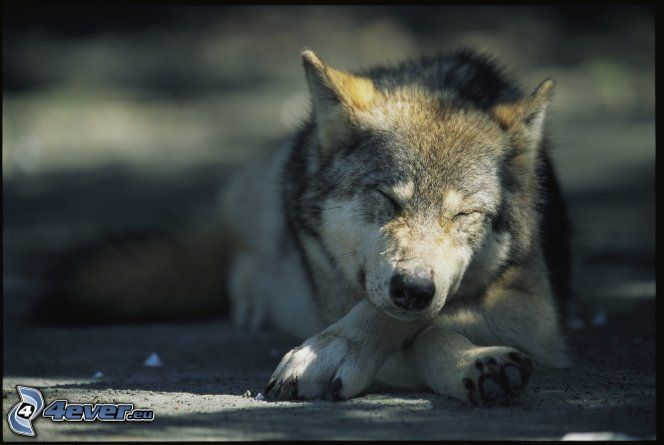 varg, sömn