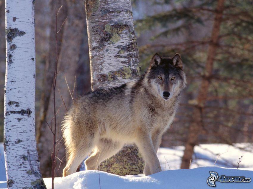 varg i snö, björkar, vinter