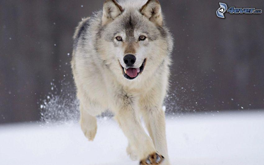 varg i snö, springa