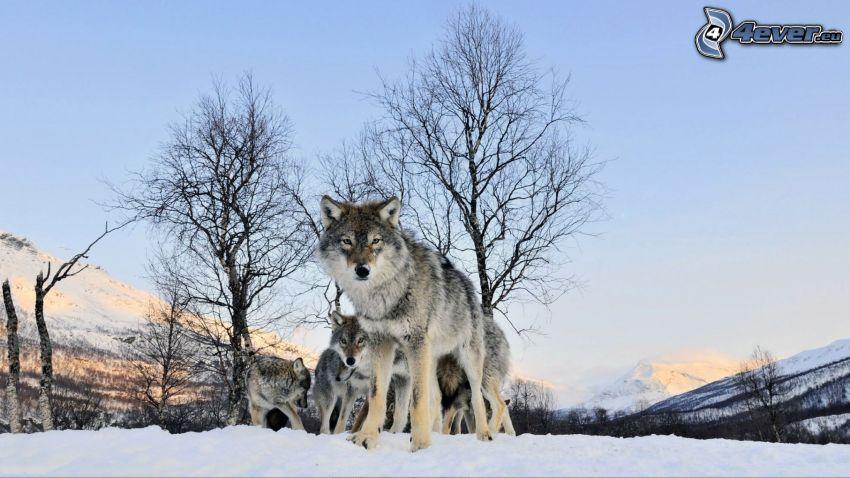 varg i snö, vargar, träd