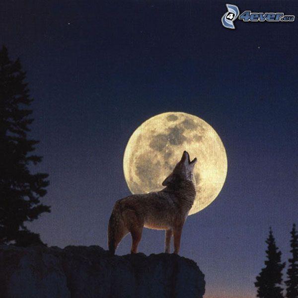 varg ylar, Månen, fullmåne, natt