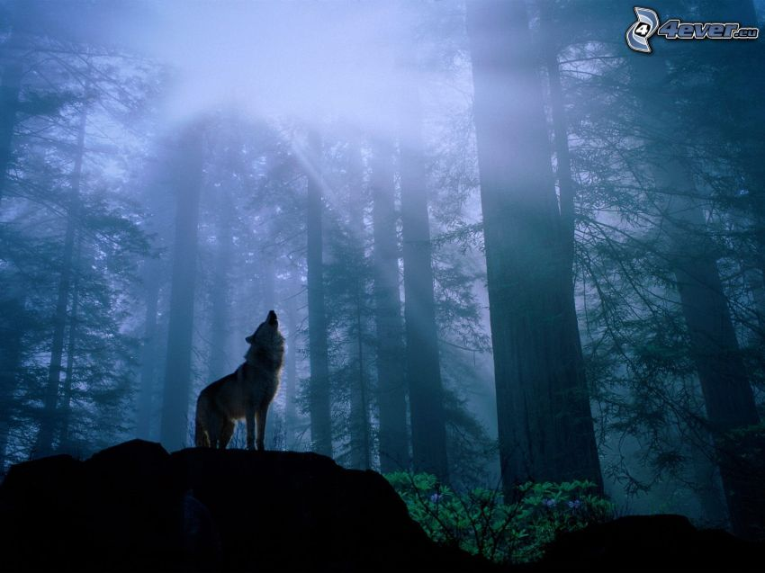 varg ylar, skog, dimma