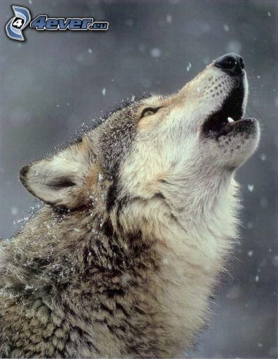 varg ylar, snö
