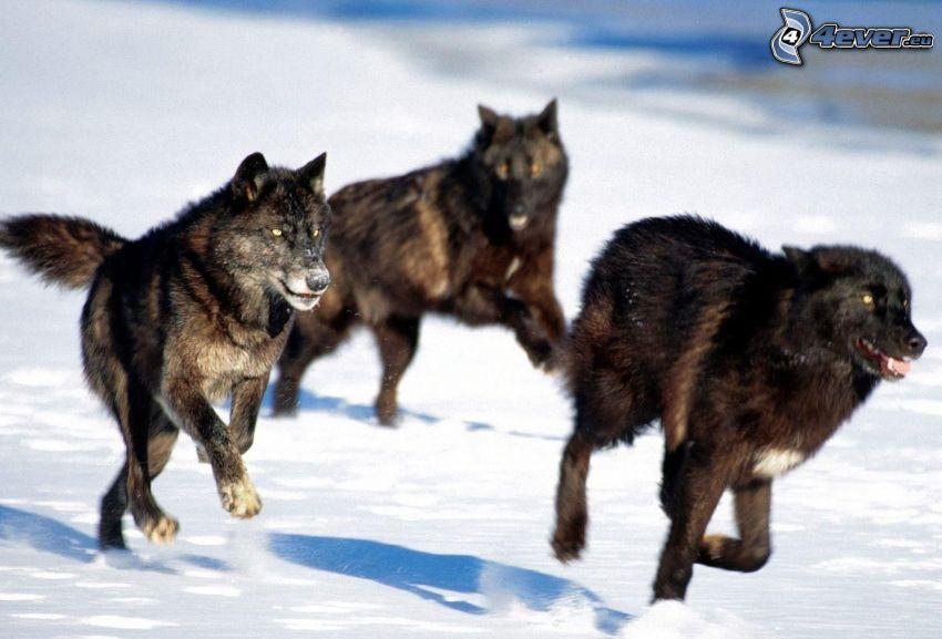 vargar, springa, snö