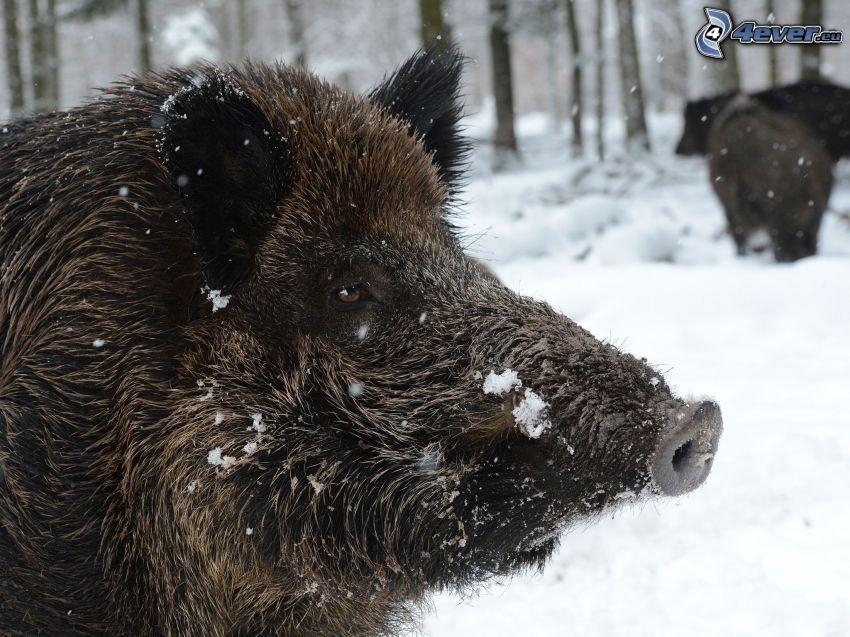 vildsvin, snö
