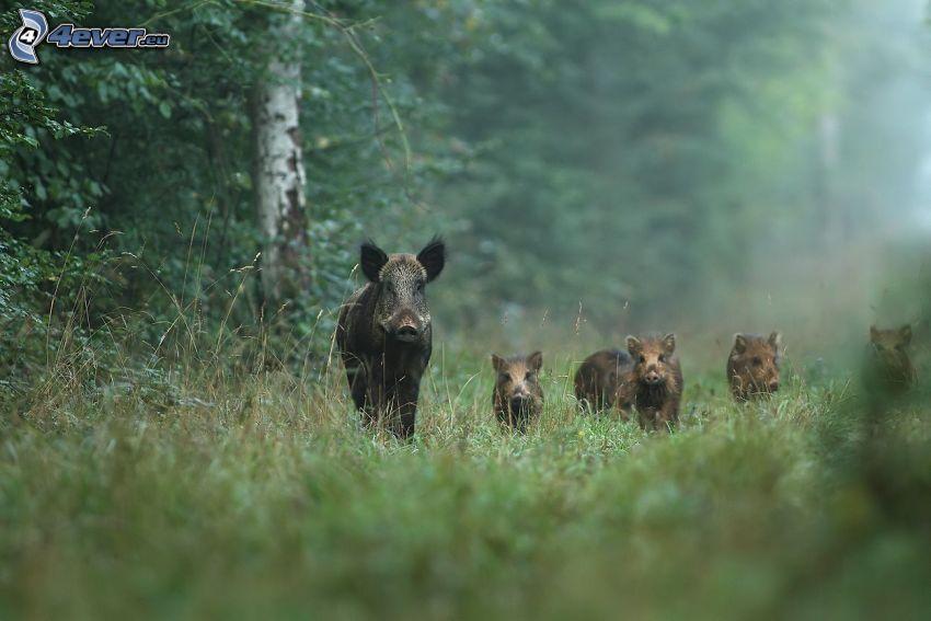 vildsvin, ungar, skog