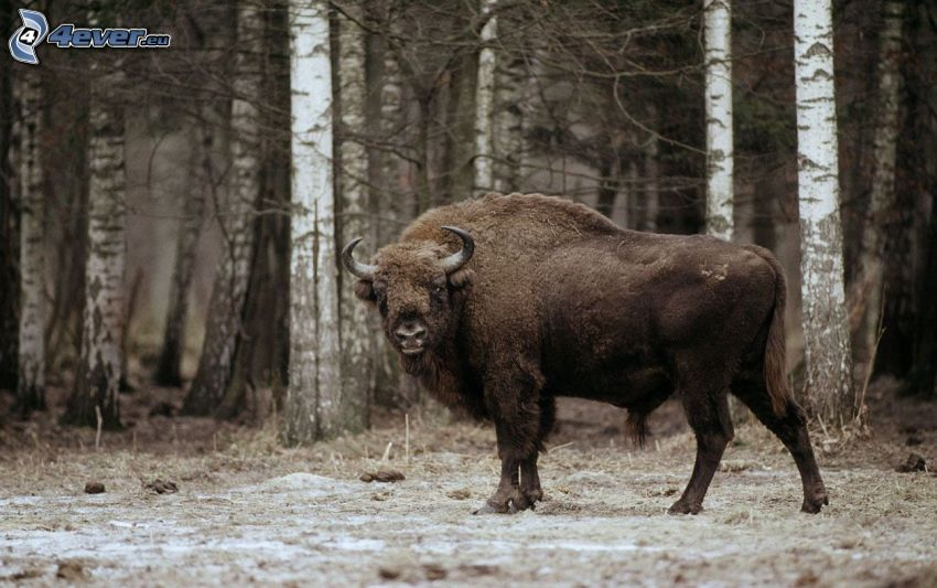 visent, björkar