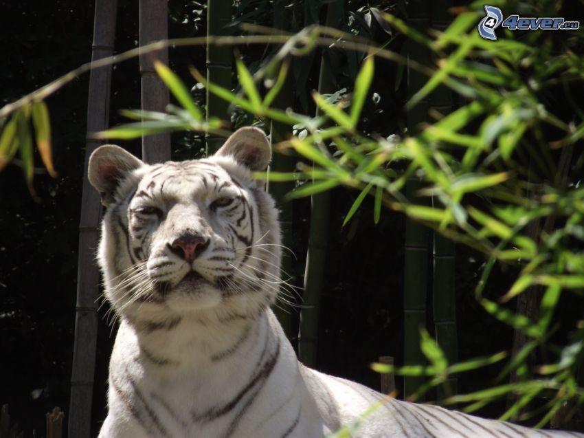 vit tiger, blick