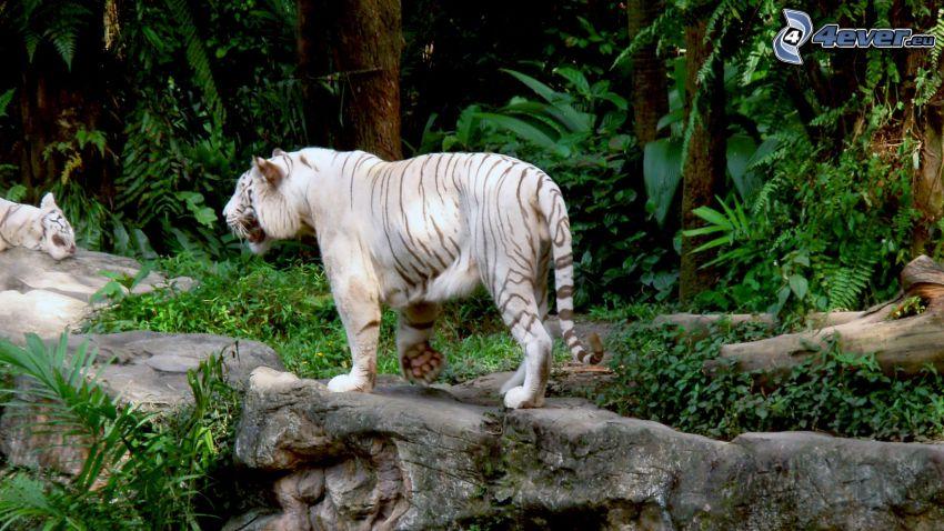 vit tiger, djungel