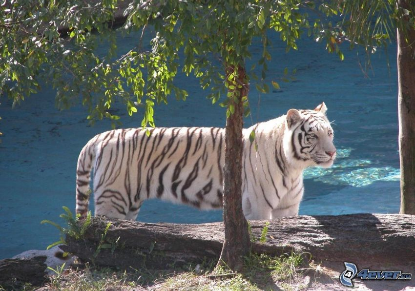 vit tiger, djur, natur