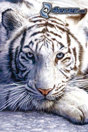 vit tiger, djur