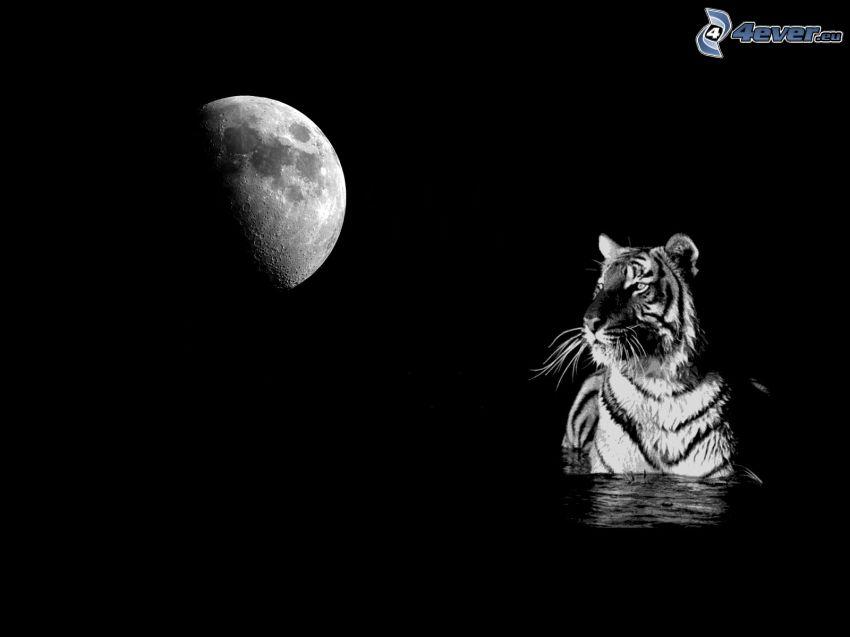 vit tiger, fullmåne
