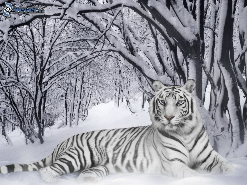 vit tiger, snö, snöklädda träd