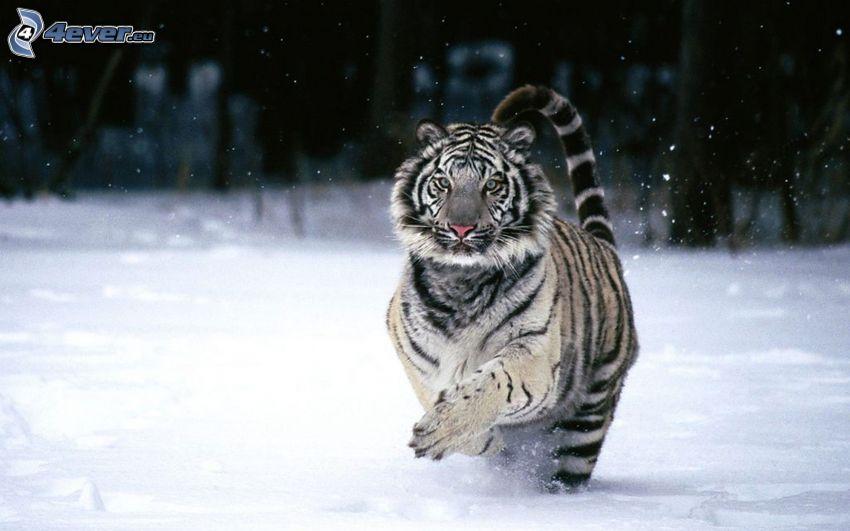 vit tiger, snö