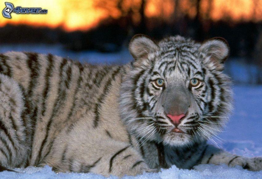 vit tiger, unge, snö