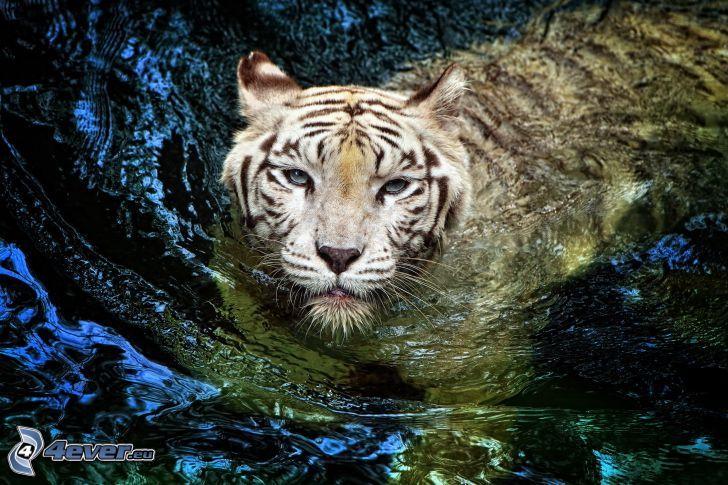 vit tiger, vatten