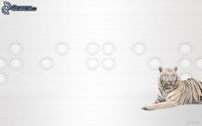 vit tiger, vit bakgrund
