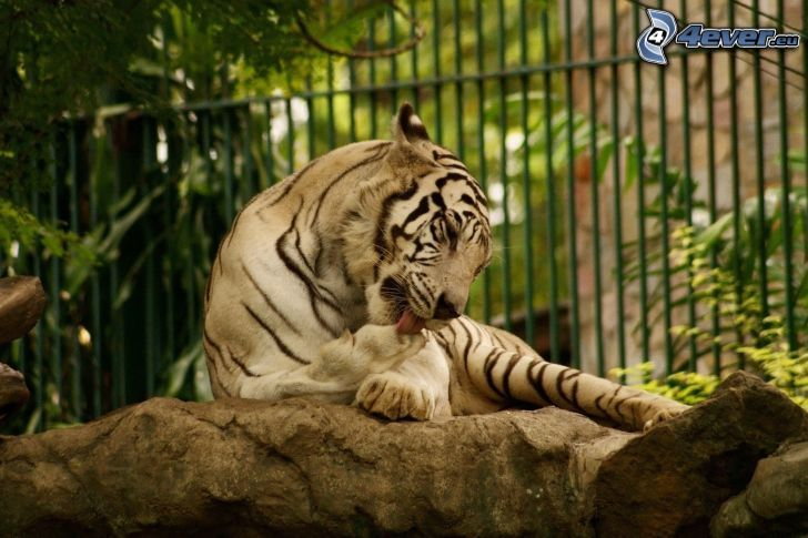 vit tiger, ZOO