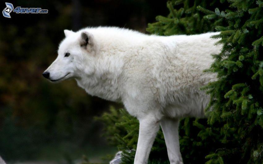 vit varg, gran