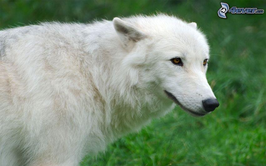 vit varg