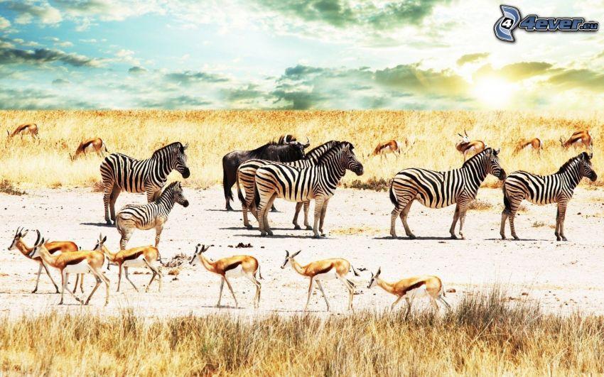 zebror, antiloper, bison, savann, torrt gräs