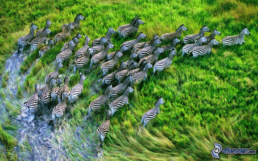 zebror, djurflock, våtmarker