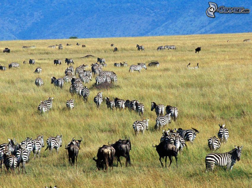 zebror, gnuer, äng