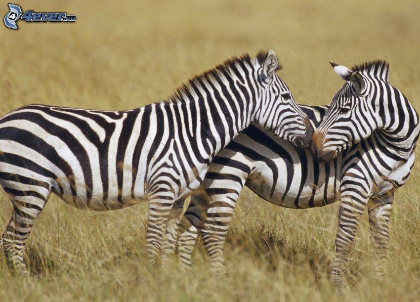zebror, kärlek, torrt gräs
