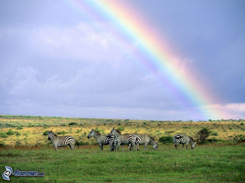 zebror, regnbåge, natur
