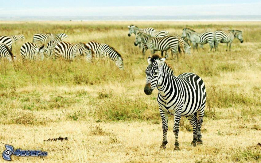 zebror, savann