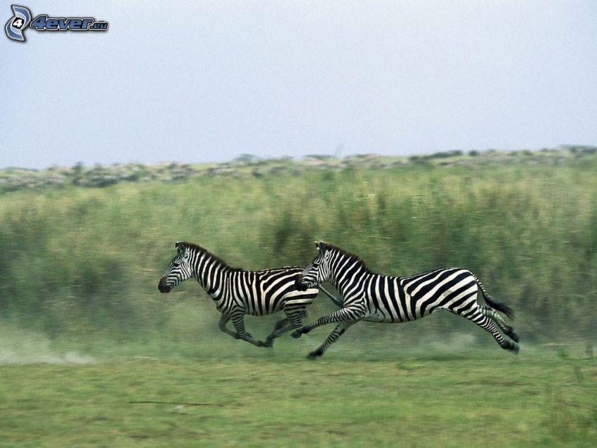 zebror, springa