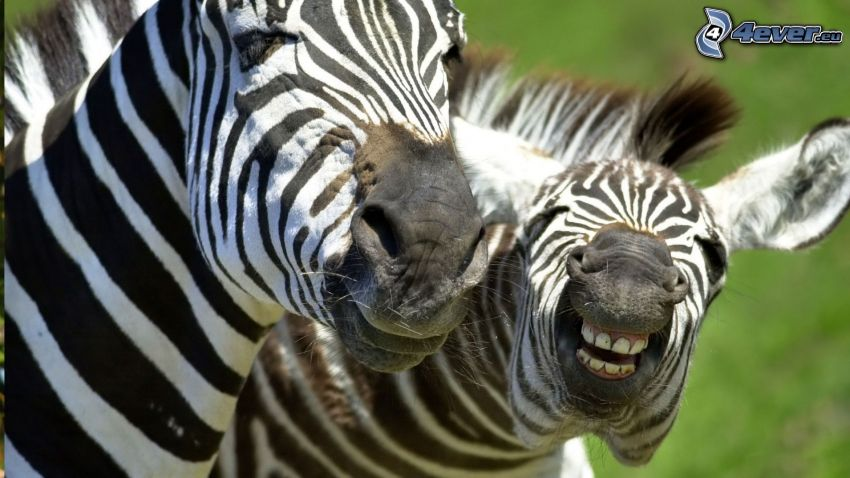 zebror, tänder