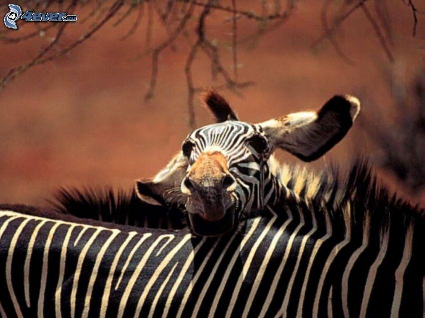 zebror