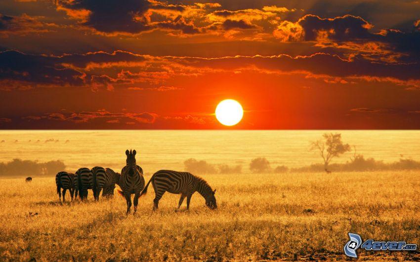 zebror, solnedgång på savann