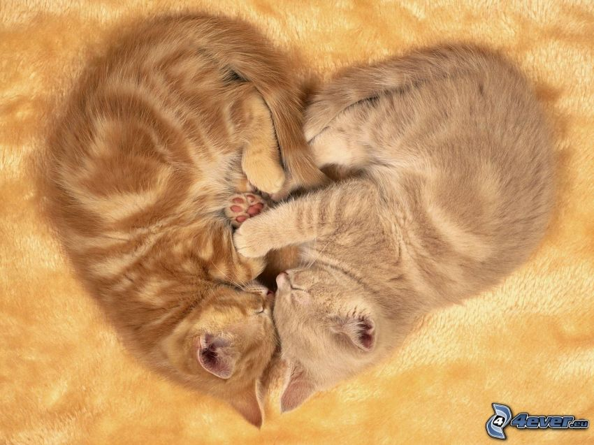 hjärta, katter